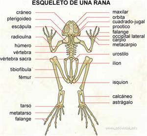 Esqueleto de una rana (Diccionario visual)