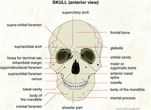 Skull  (Visual Dictionary)