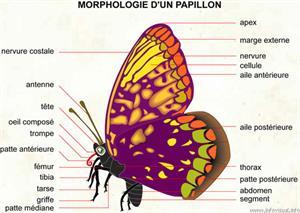 Papillon (Dictionnaire Visuel)