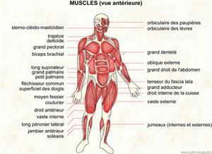 Muscles (Dictionnaire Visuel)