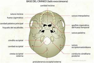 Base del cráneo (Diccionario visual)