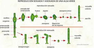Reproducción sexuada y asexuada de una alga verde (Diccionario visual)