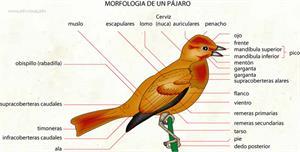 Pájaro (Diccionario visual)