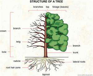 Tree  (Visual Dictionary)