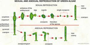 Reproduction of green algae  (Visual Dictionary)