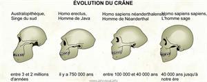 Évolution du crâne (Dictionnaire Visuel)