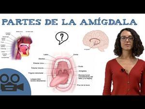 Partes de la amígdala