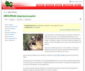Jabirú africano (Ephippiorhynchus senegalensis)