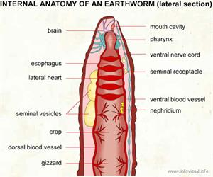 Internal anatomy earthworm lateral  (Visual Dictionary)