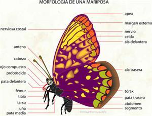 Mariposa (Diccionario visual)
