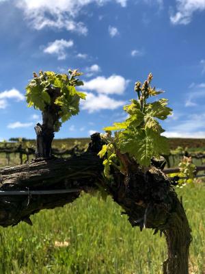 Vendimia, pisa y cata uvas en Finca Vistahermosa