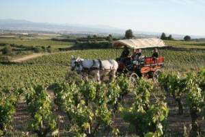 Carrige rides through the vineyards