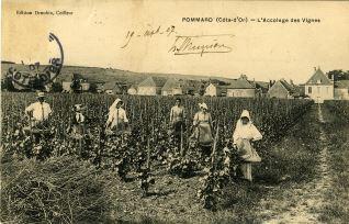 L'Accolage des Vignes